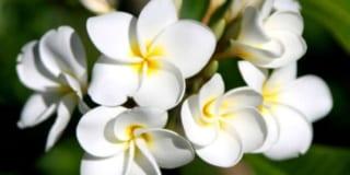 Hoa Đại trắng cho mùa đã cũ